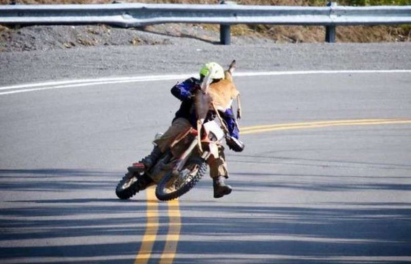 caprioara pe motocicleta
